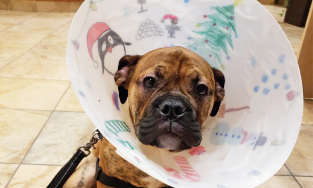 boxer puppy in christmas cone