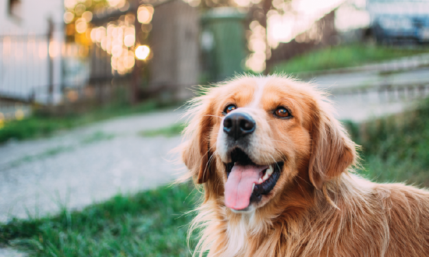 Dog outside with mouth open smiling.